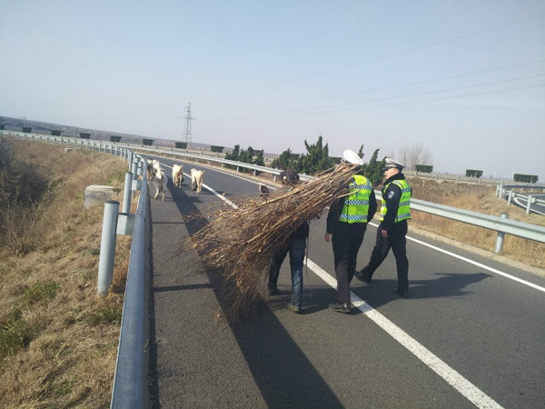 羊群高速公路上撒欢 民警紧急处置